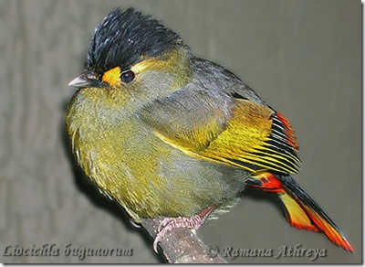 Species_Bugunliocichla