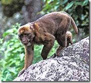 Species_MacacaMonkey
